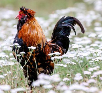 Judi Sabung Ayam Online dan Kelebihannya