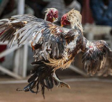 Tata Cara Bermain Judi Sabung Ayam Online